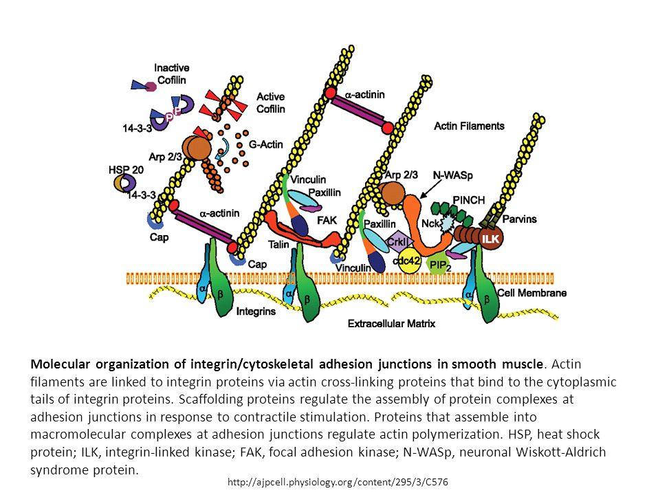 1 asse integrine filamenti di actina ppt scaricare