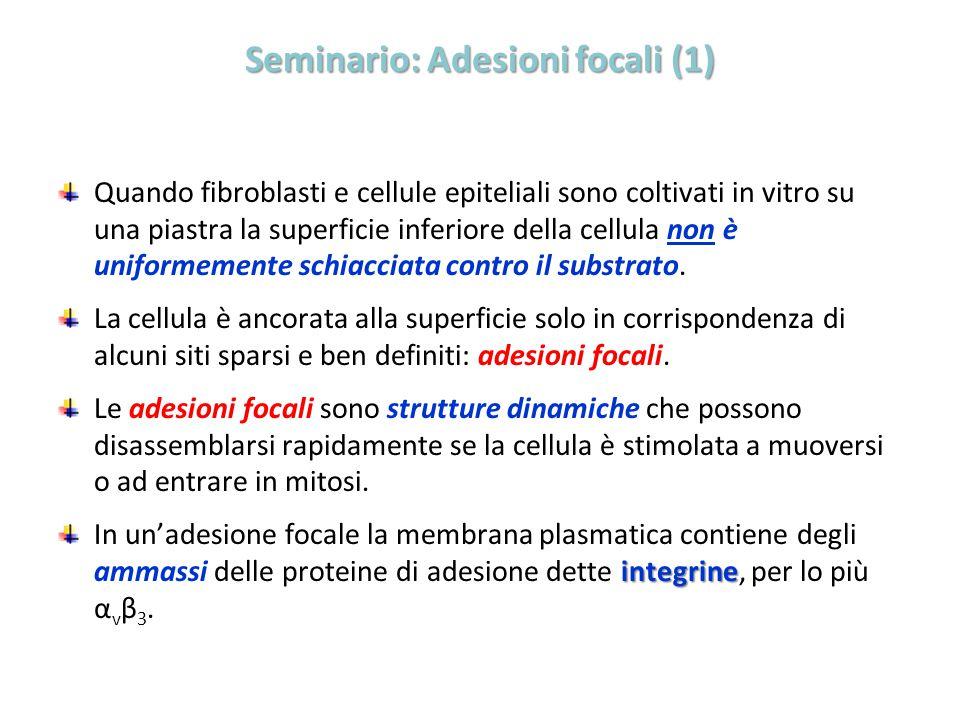 Seminario: Adesioni focali (1)