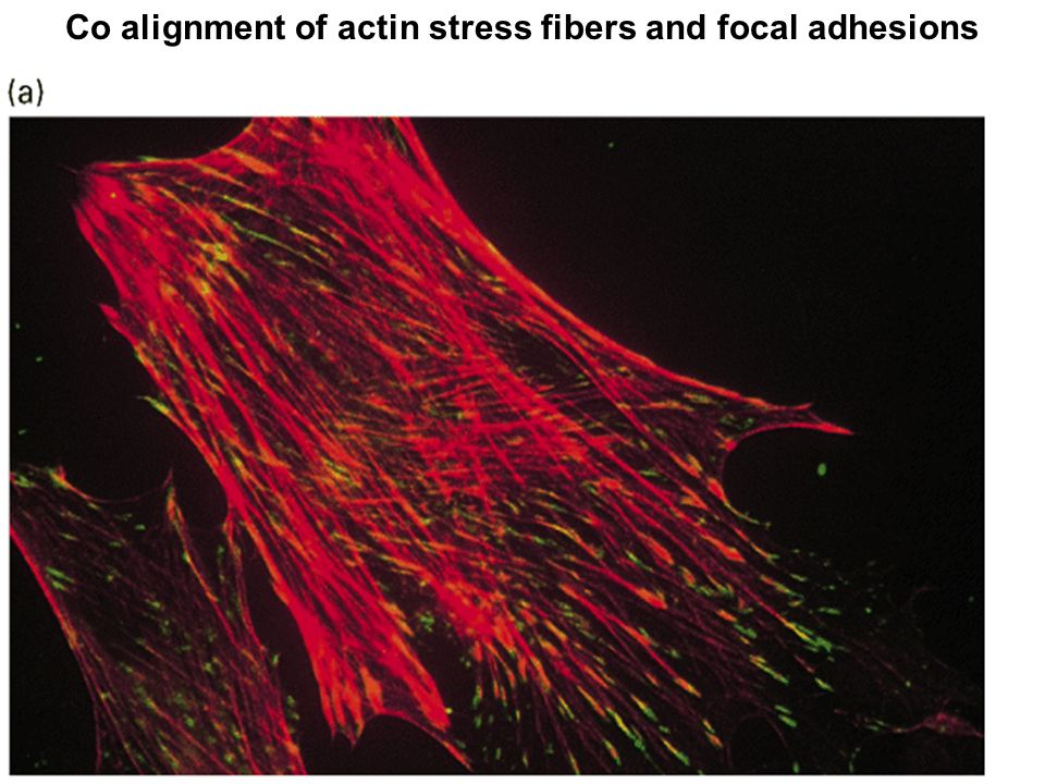 Co alignment of actin stress fibers and focal adhesions