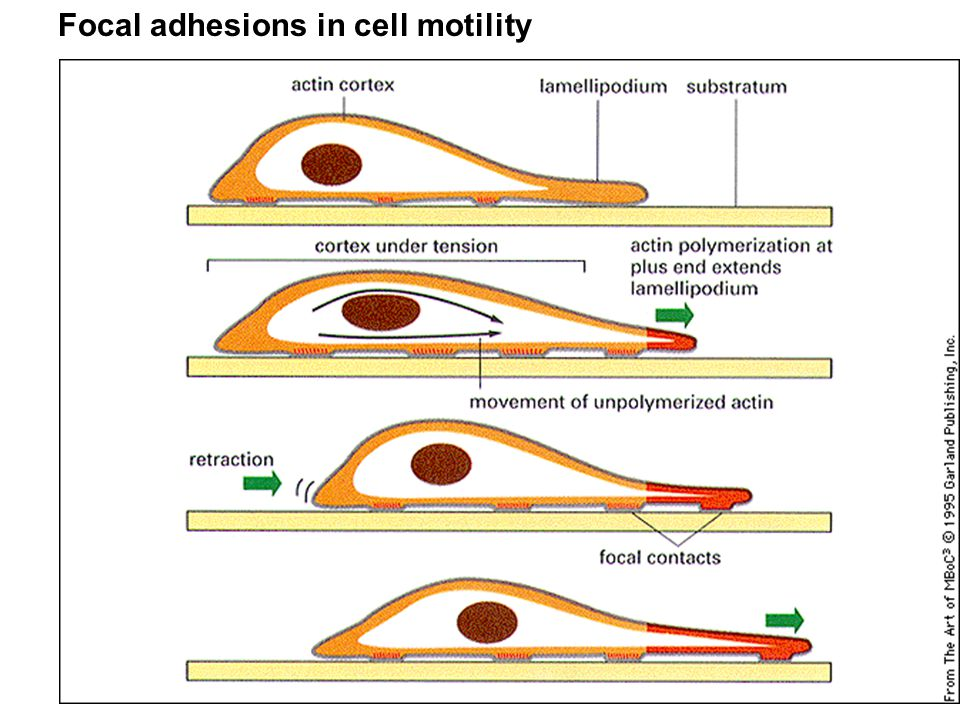 Focal adhesions in cell motility