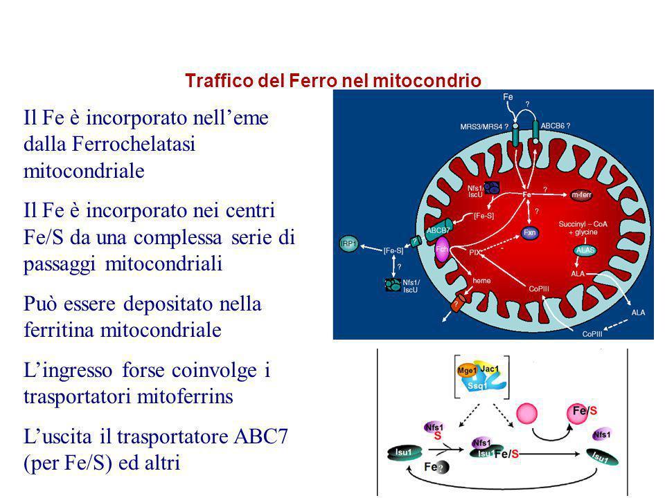 Traffico del Ferro nel mitocondrio