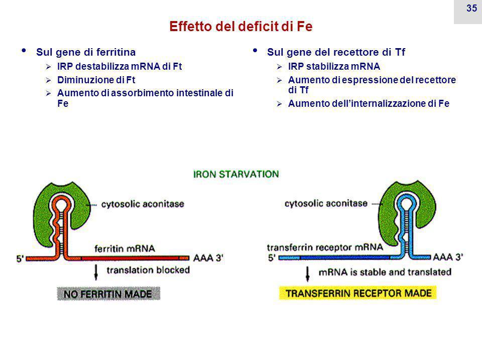 Effetto del deficit di Fe