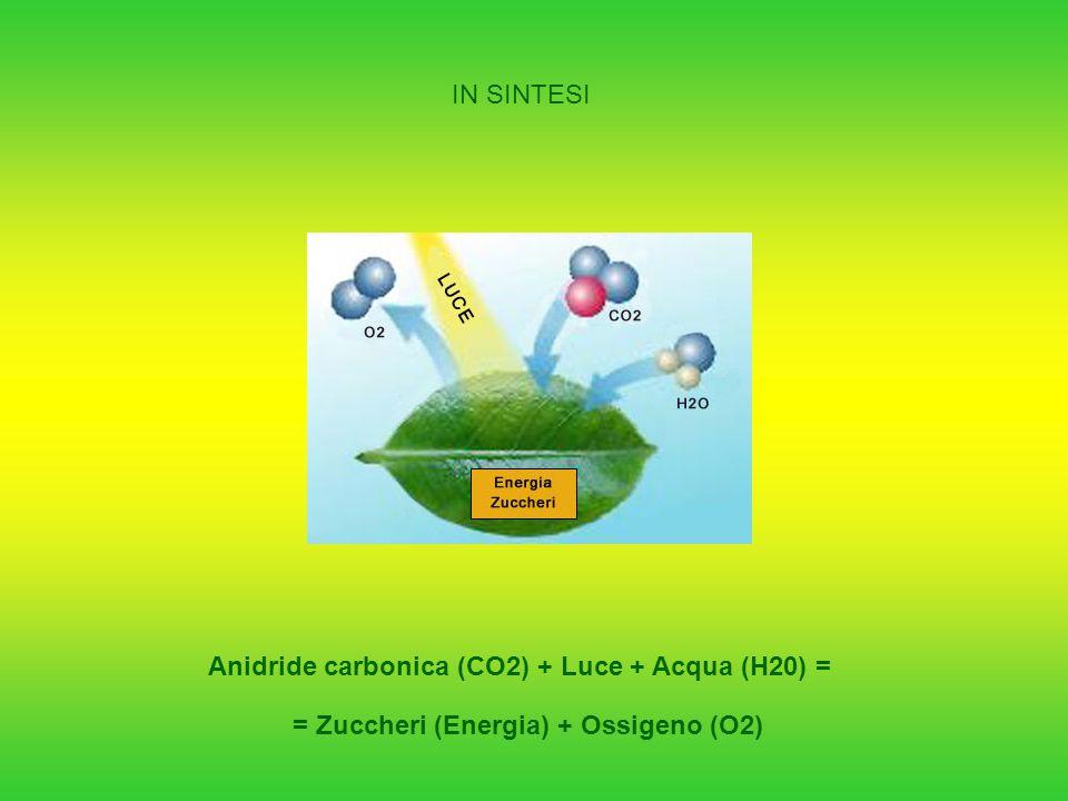 IN SINTESI Anidride carbonica (CO2) + Luce + Acqua (H20) = = Zuccheri (Energia) + Ossigeno (O2)