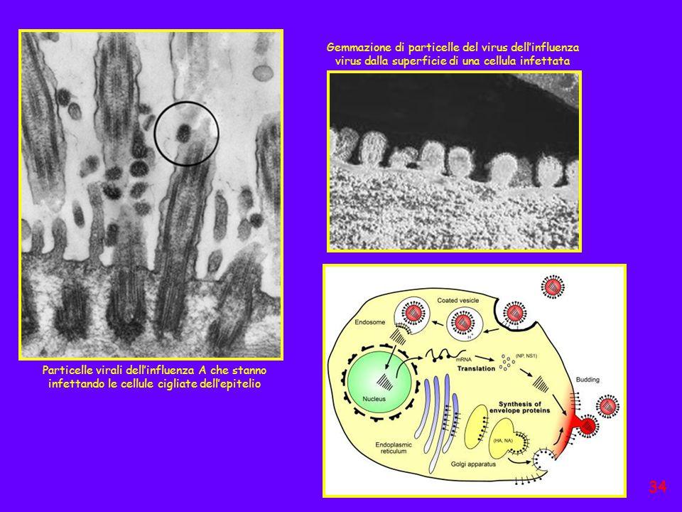 Gemmazione di particelle del virus dell'influenza virus dalla superficie di una cellula infettata