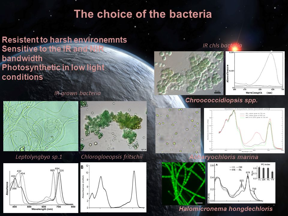 The choice of the bacteria