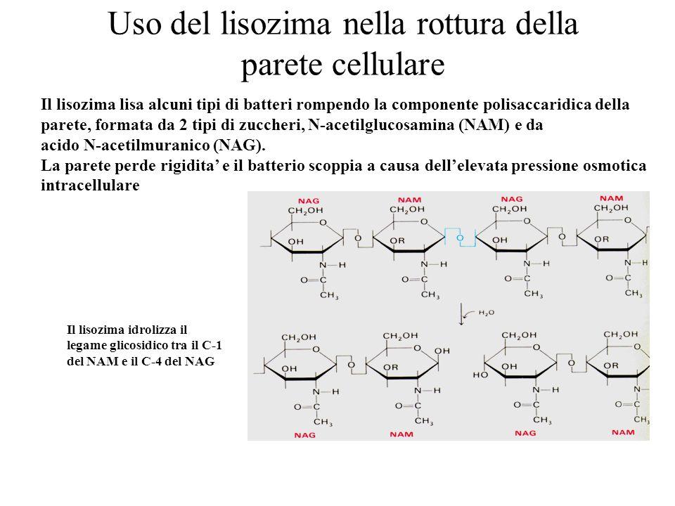 Uso del lisozima nella rottura della parete cellulare