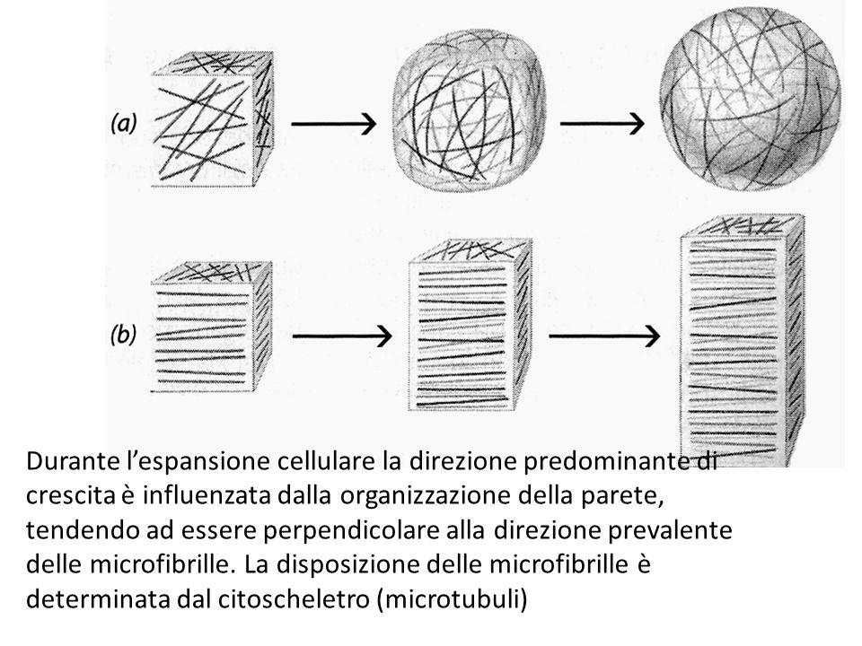 Durante l'espansione cellulare la direzione predominante di crescita è influenzata dalla organizzazione della parete, tendendo ad essere perpendicolare alla direzione prevalente delle microfibrille.