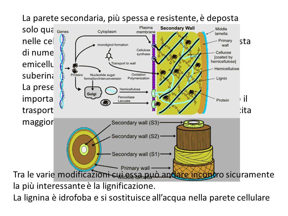 La parete secondaria, più spessa e resistente, è deposta solo quando la cellula ha smesso di crescere. La si trova nelle cellule dello xilema, tracheidi e sclereidi. E' composta di numerose fibre di cellulosa e piccole quantità di emicellulosa e pectine ed inoltre rinforzata da lignina, suberina, cere etc.