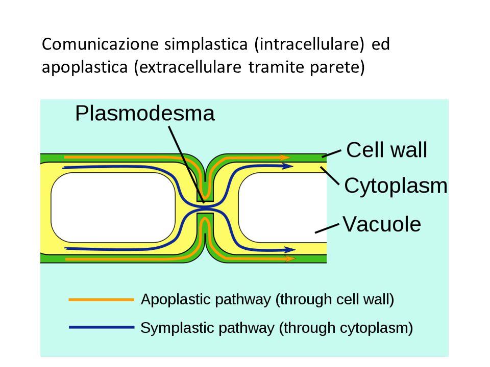 Comunicazione simplastica (intracellulare) ed apoplastica (extracellulare tramite parete)