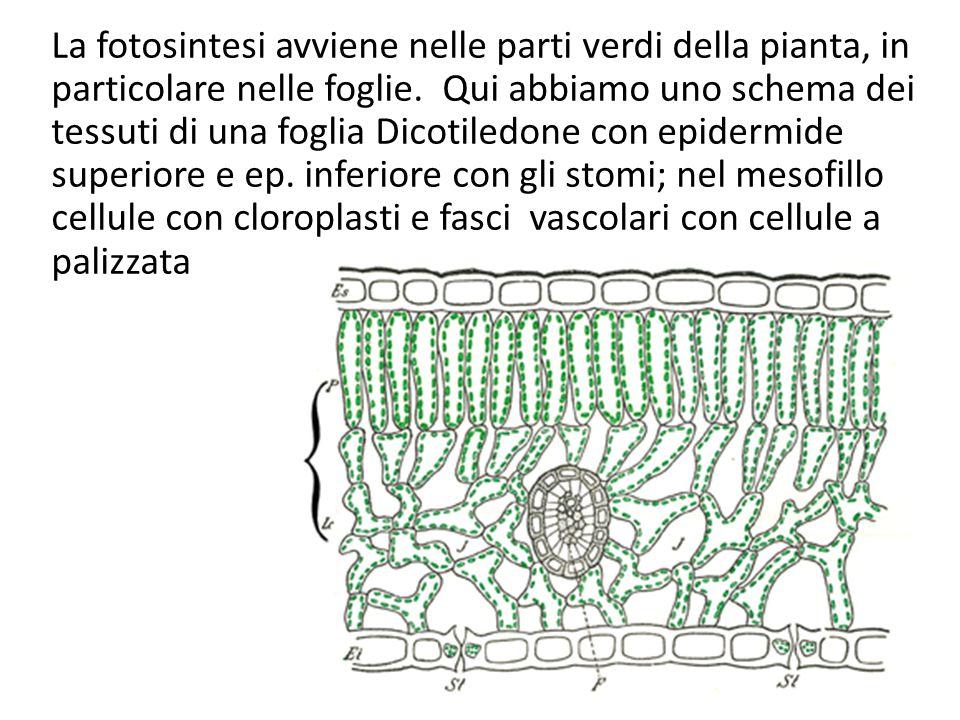 La fotosintesi avviene nelle parti verdi della pianta, in particolare nelle foglie.