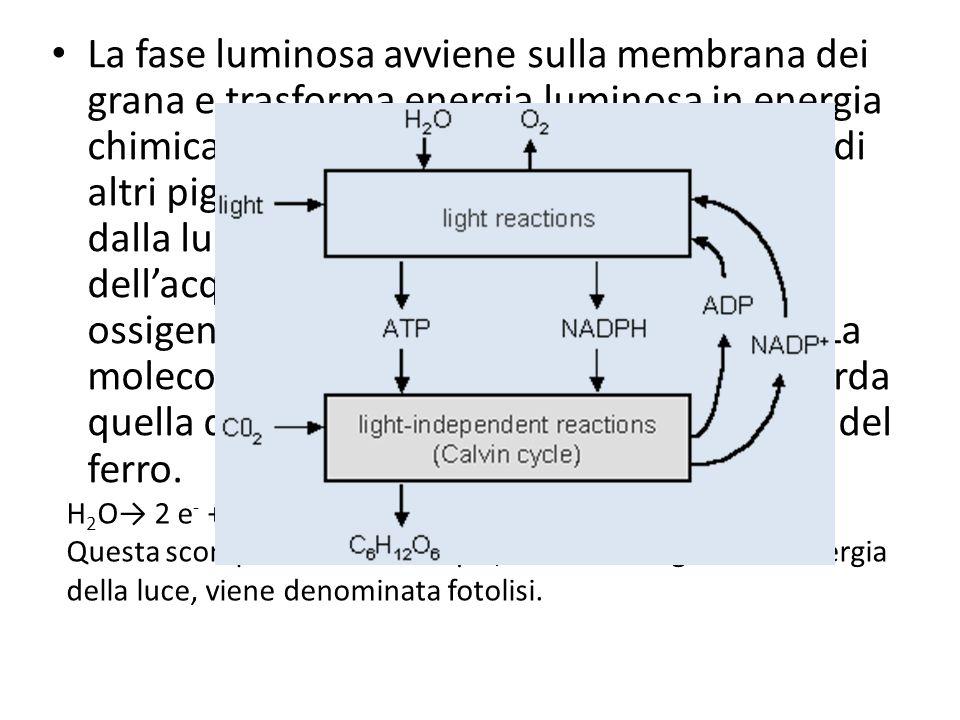 La fase luminosa avviene sulla membrana dei grana e trasforma energia luminosa in energia chimica. La clorofilla, con la collaborazione di altri pigmenti (fotosistemi), viene eccitata dalla luce blu e rossa e attiva la scissione dell'acqua determinando la liberazione di ossigeno molecolare, protoni ed elettroni. La molecola della clorofilla è particolare e ricorda quella della emoglobina, con il Mg al posto del ferro.
