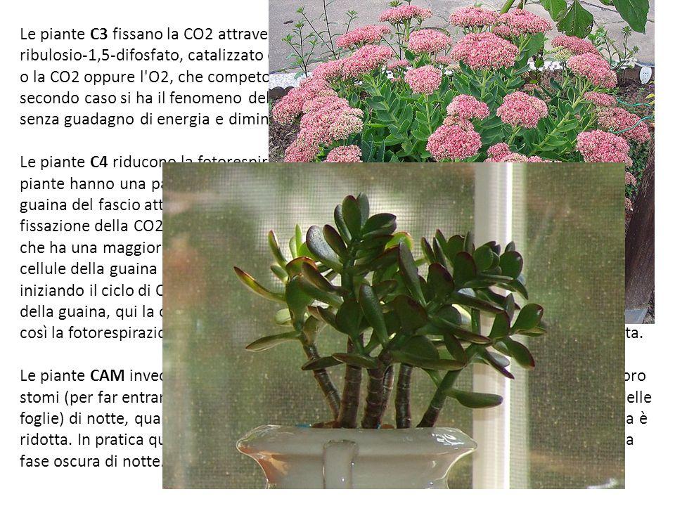 Le piante C3 fissano la CO2 attraverso il ciclo di Calvin, questo prevede il legame con il ribulosio-1,5-difosfato, catalizzato dall enzima RuBisCO che può addizionare al ribulosio o la CO2 oppure l O2, che competono tra loro per il sito attivo dell enzima; in questo secondo caso si ha il fenomeno della FOTORESPIRAZIONE con ossidazione del substrato senza guadagno di energia e diminuzione dell efficienza della fissazione del C. Le piante C4 riducono la fotorespirazione attraverso un particolare meccanismo; queste piante hanno una particolare anatomia della foglia con due tipi di cellule: mesofillo e guaina del fascio attorno ai fasci vascolari. Nelle cellule del mesofillo avviene la fissazione della CO2 con formazione di un prodotto ossalacetato ad opera di un enzima che ha una maggiore affinità per la CO2 rispetto alla RuBisCO. L'ossalacetato passa nelle cellule della guaina del fascio, dove rilascia la CO2 che reagisce con il ribulosio difosfato, iniziando il ciclo di Calvin: visto che l ossalacetato pompa CO2 dal mesofillo alle cellule della guaina, qui la concentrazione di CO2 è molto maggiore rispetto a quella dell O2 e così la fotorespirazione è molto ridotta e l efficienza di fissazione del C è molto elevata. Le piante CAM invece possono vivere in ambienti con poca acqua, perché aprono i loro stomi (per far entrare la CO2, ma questo fa aumentare la perdita di acqua da parte delle foglie) di notte, quando la temperatura è più bassa e quindi l evaporazione dell acqua è ridotta. In pratica queste piante svolgono la fase luminosa di giorno (ovviamente) e la fase oscura di notte.