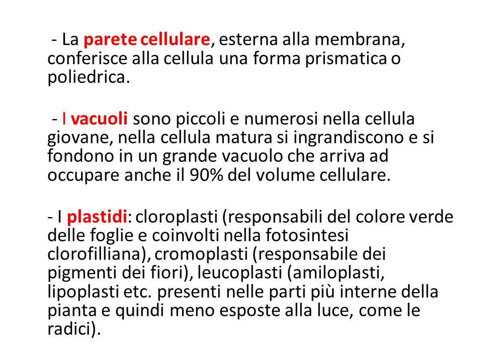 - La parete cellulare, esterna alla membrana, conferisce alla cellula una forma prismatica o poliedrica.