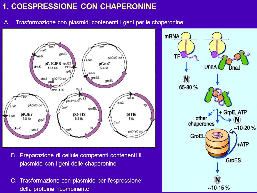 COESPRESSIONE CON CHAPERONINE