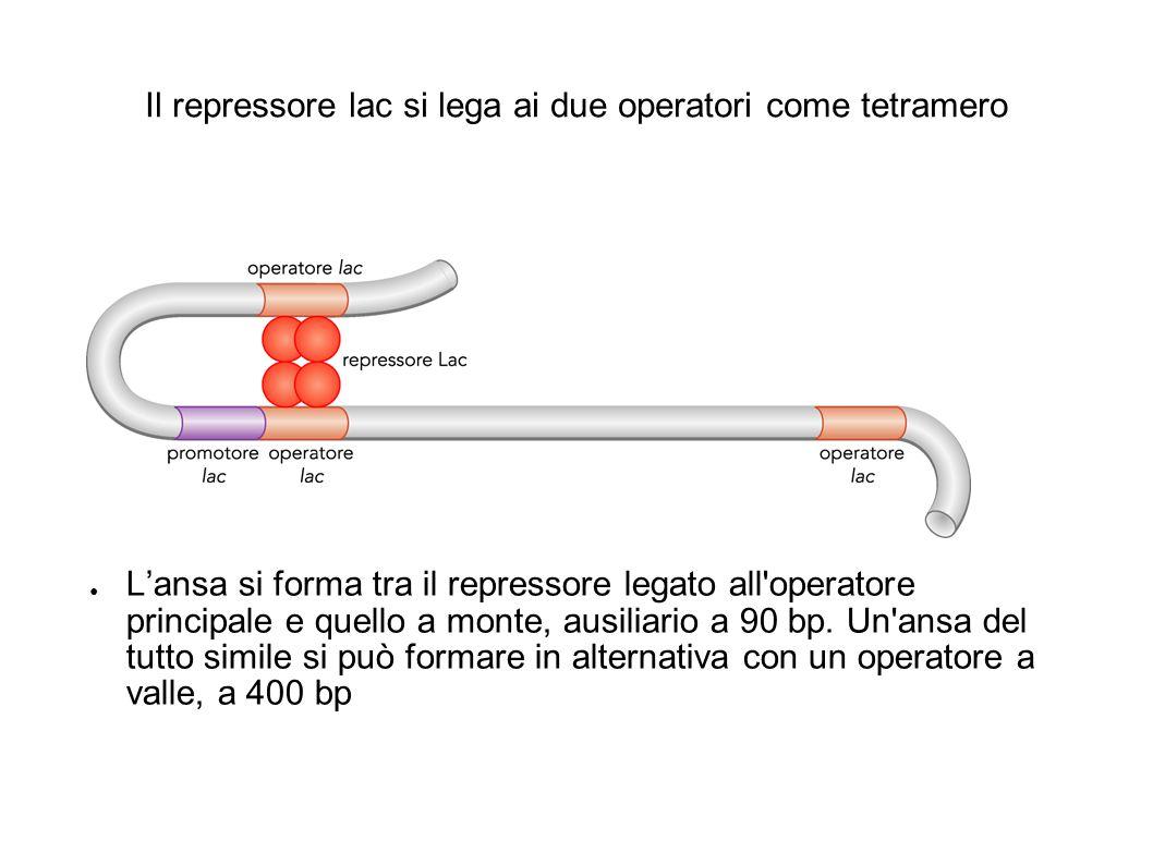 Il repressore lac si lega ai due operatori come tetramero