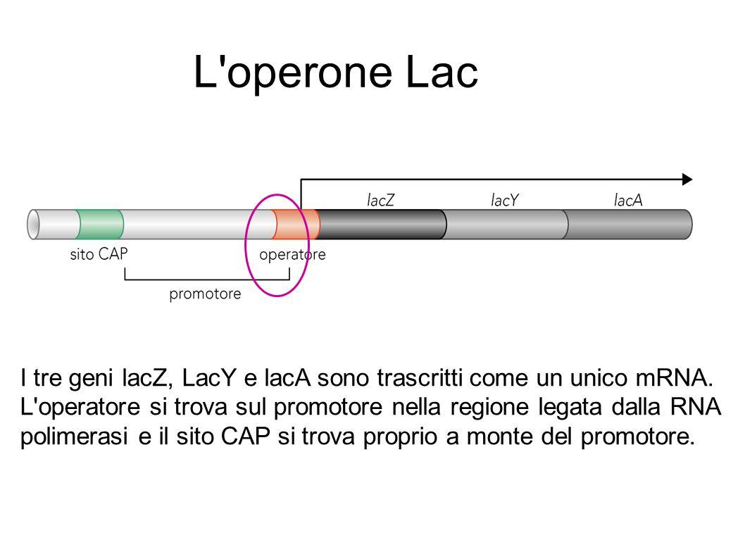 L operone Lac