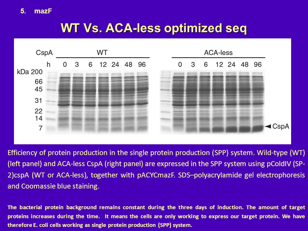 WT Vs. ACA-less optimized seq