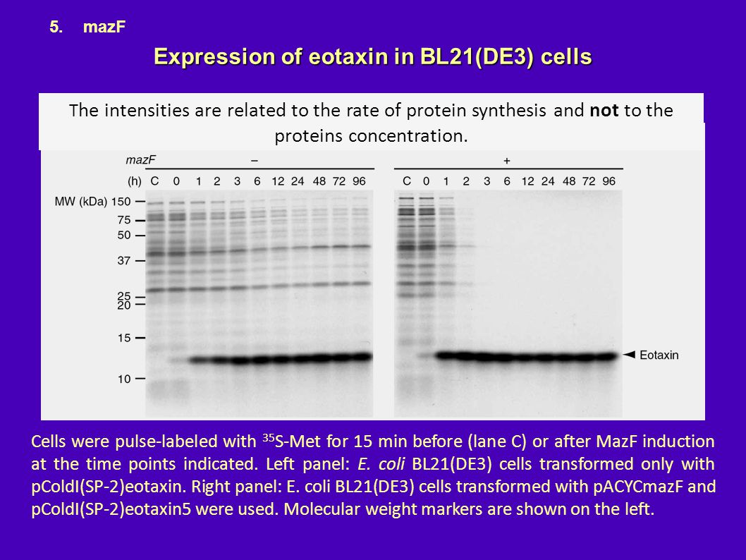 Expression of eotaxin in BL21(DE3) cells