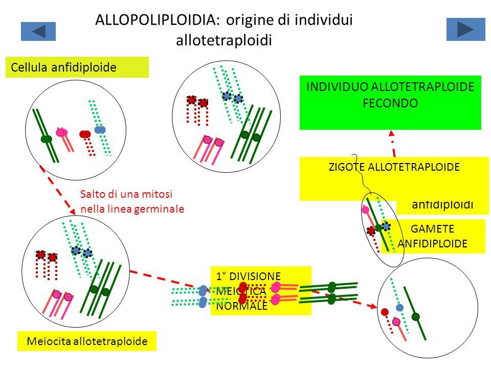 ALLOPOLIPLOIDIA: origine di individui allotetraploidi
