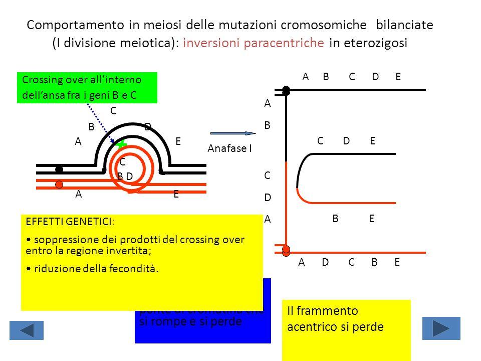 Comportamento in meiosi delle mutazioni cromosomiche bilanciate (I divisione meiotica): inversioni paracentriche in eterozigosi