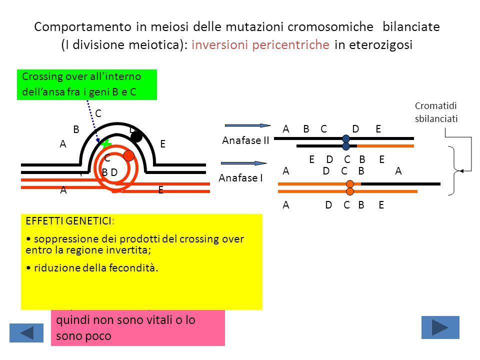 Comportamento in meiosi delle mutazioni cromosomiche bilanciate (I divisione meiotica): inversioni pericentriche in eterozigosi