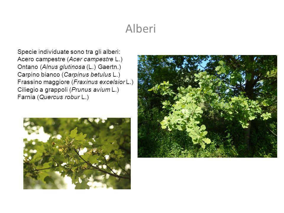 Alberi Specie individuate sono tra gli alberi: