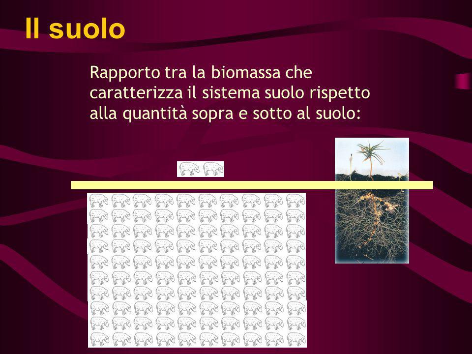 Il suolo Rapporto tra la biomassa che caratterizza il sistema suolo rispetto alla quantità sopra e sotto al suolo:
