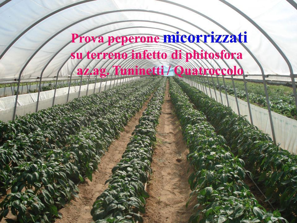 su terreno infetto di phitosfora az.ag. Tuninetti / Quatroccolo