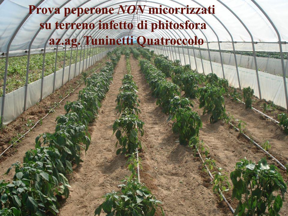 Prova peperone NON micorrizzati su terreno infetto di phitosfora