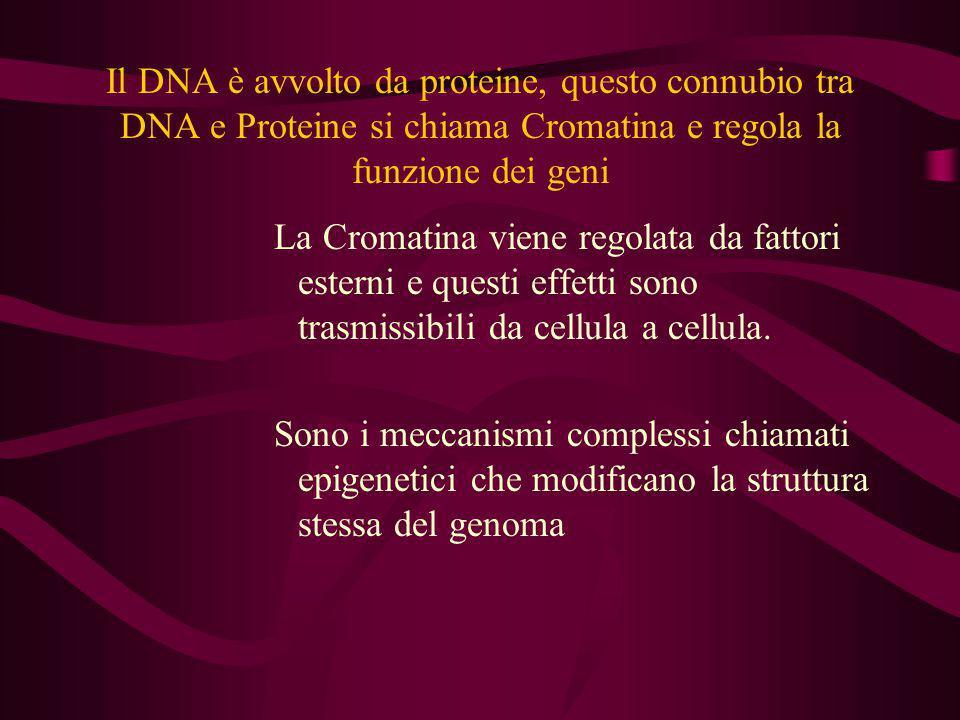 Il DNA è avvolto da proteine, questo connubio tra DNA e Proteine si chiama Cromatina e regola la funzione dei geni