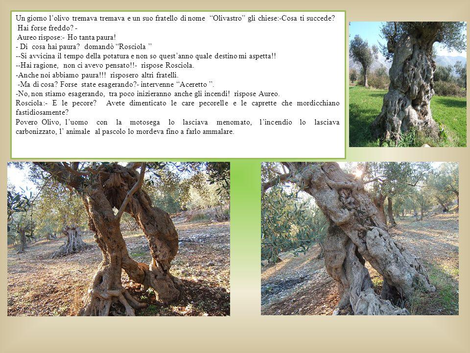 Un giorno l'olivo tremava tremava e un suo fratello di nome Olivastro gli chiese:-Cosa ti succede