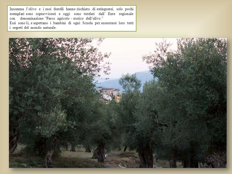 Insomma l'olivo e i suoi fratelli hanno rischiato di estinguersi, solo pochi esemplari sono sopravvissuti e oggi sono tutelati dall' Ente regionale con denominazione Parco agricolo - storico dell'ulivo.