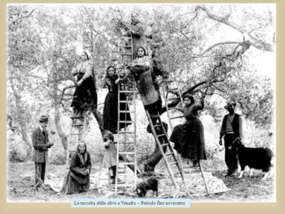 La raccolta delle olive a Venafro – Periodo fine novecento