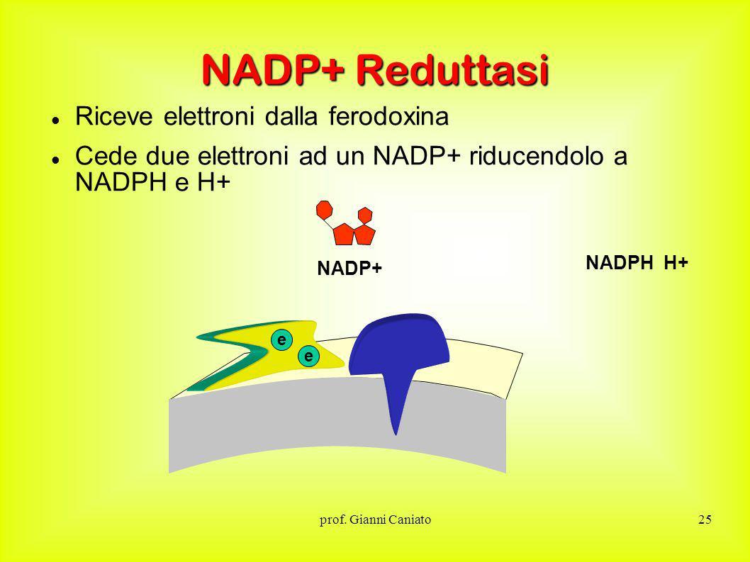 NADP+ Reduttasi Riceve elettroni dalla ferodoxina