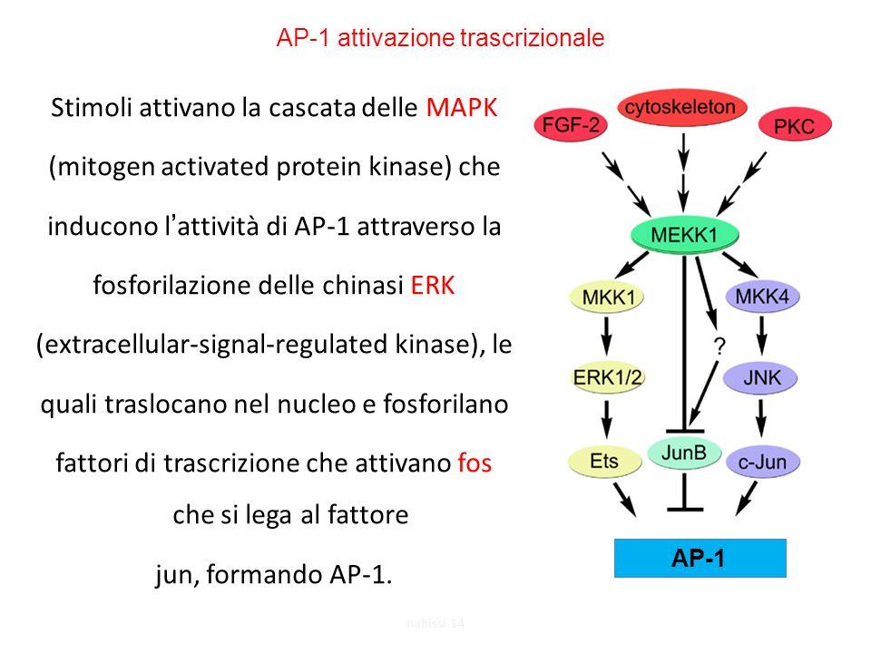 AP-1 attivazione trascrizionale