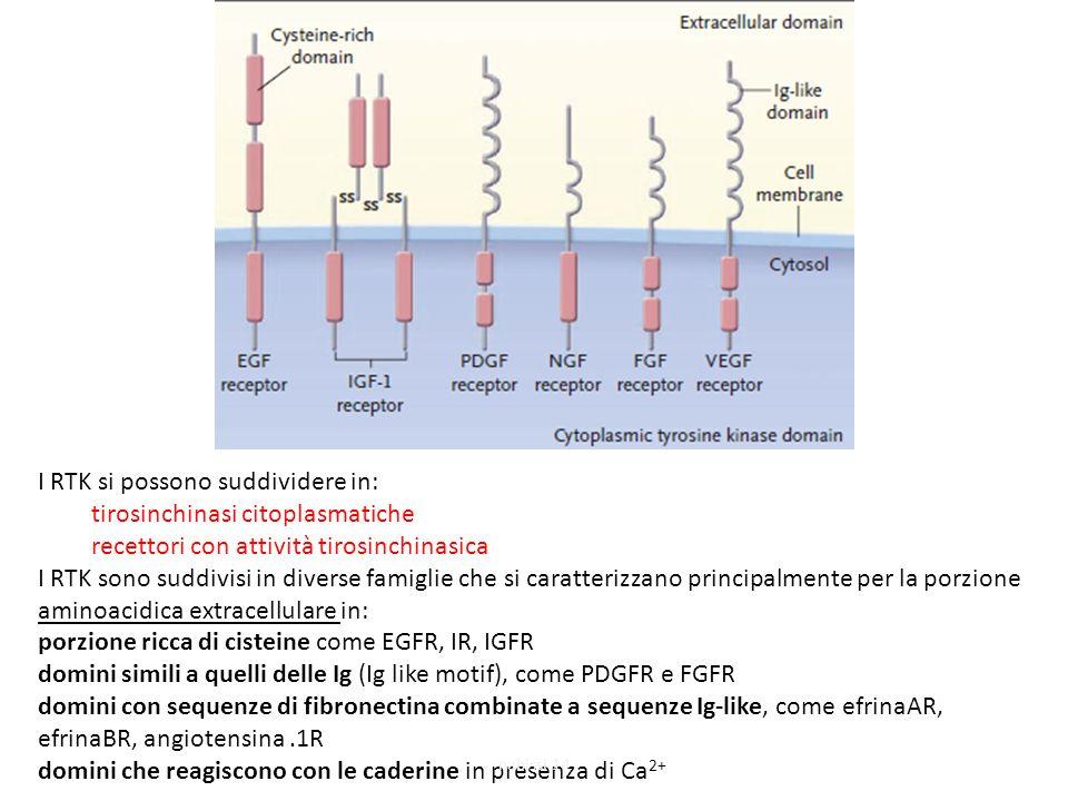 I RTK si possono suddividere in: tirosinchinasi citoplasmatiche