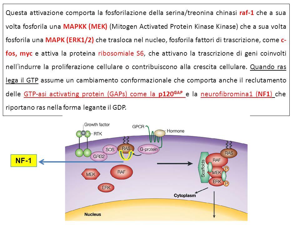Questa attivazione comporta la fosforilazione della serina/treonina chinasi raf-1 che a sua volta fosforila una MAPKK (MEK) (Mitogen Activated Protein Kinase Kinase) che a sua volta fosforila una MAPK (ERK1/2) che trasloca nel nucleo, fosforila fattori di trascrizione, come c-fos, myc e attiva la proteina ribosomiale S6, che attivano la trascrizione di geni coinvolti nell'indurre la proliferazione cellulare o contribuiscono alla crescita cellulare. Quando ras lega il GTP assume un cambiamento conformazionale che comporta anche il reclutamento delle GTP-asi activating protein (GAPs) come la p120GAP e la neurofibromina1 (NF1) che riportano ras nella forma legante il GDP.