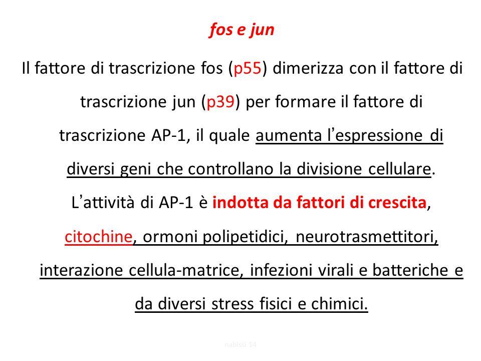 fos e jun Il fattore di trascrizione fos (p55) dimerizza con il fattore di trascrizione jun (p39) per formare il fattore di trascrizione AP-1, il quale aumenta l'espressione di diversi geni che controllano la divisione cellulare. L'attività di AP-1 è indotta da fattori di crescita, citochine, ormoni polipetidici, neurotrasmettitori, interazione cellula-matrice, infezioni virali e batteriche e da diversi stress fisici e chimici.