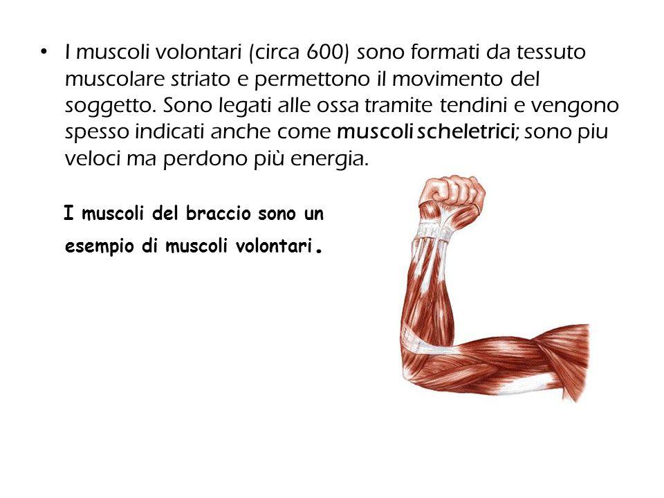 I muscoli volontari (circa 600) sono formati da tessuto muscolare striato e permettono il movimento del soggetto. Sono legati alle ossa tramite tendini e vengono spesso indicati anche come muscoli scheletrici; sono piu veloci ma perdono più energia.