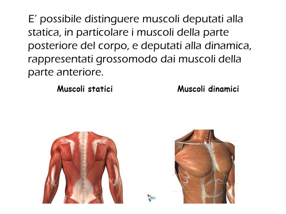 E' possibile distinguere muscoli deputati alla statica, in particolare i muscoli della parte posteriore del corpo, e deputati alla dinamica, rappresentati grossomodo dai muscoli della parte anteriore.