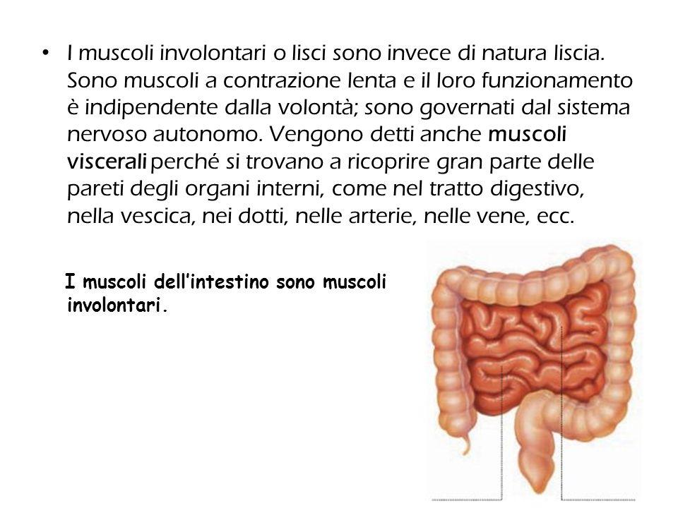 I muscoli involontari o lisci sono invece di natura liscia