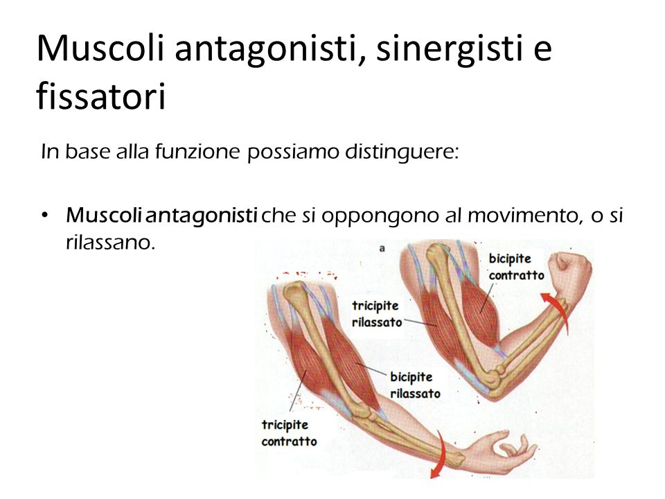 Muscoli antagonisti, sinergisti e fissatori