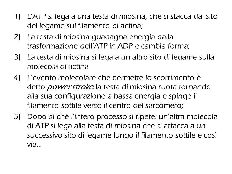 L'ATP si lega a una testa di miosina, che si stacca dal sito del legame sul filamento di actina;