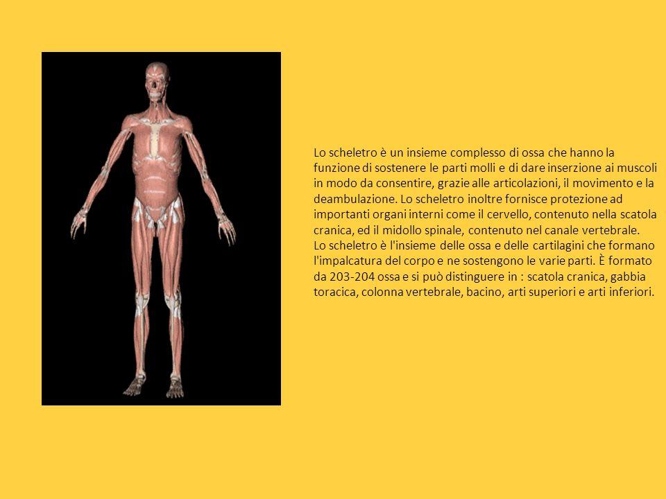 Lo scheletro è un insieme complesso di ossa che hanno la funzione di sostenere le parti molli e di dare inserzione ai muscoli in modo da consentire, grazie alle articolazioni, il movimento e la deambulazione. Lo scheletro inoltre fornisce protezione ad importanti organi interni come il cervello, contenuto nella scatola cranica, ed il midollo spinale, contenuto nel canale vertebrale.