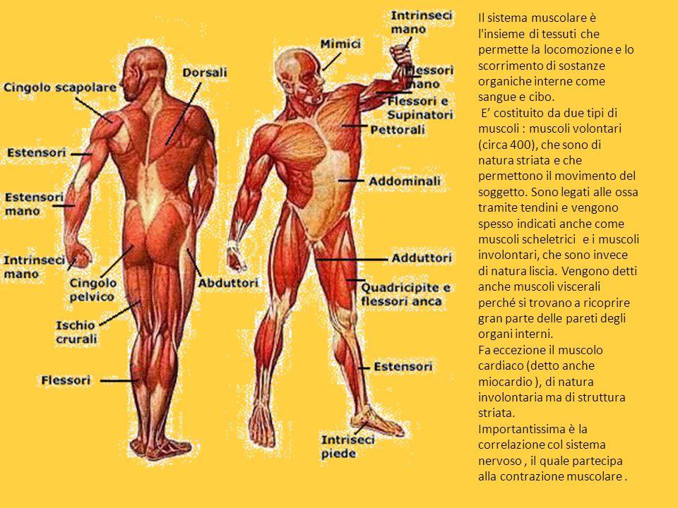 Il sistema muscolare è l insieme di tessuti che permette la locomozione e lo scorrimento di sostanze organiche interne come sangue e cibo.