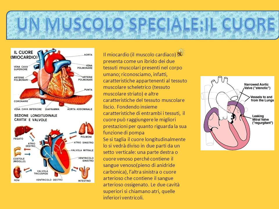 un muscolo speciale:il cuore