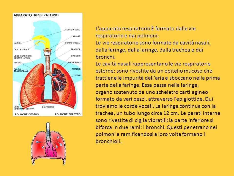 L apparato respiratorio È formato dalle vie respiratorie e dai polmoni.