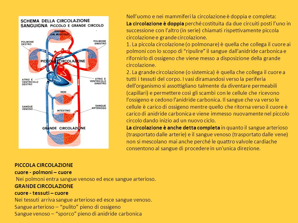 Nell'uomo e nei mammiferi la circolazione è doppia e completa: