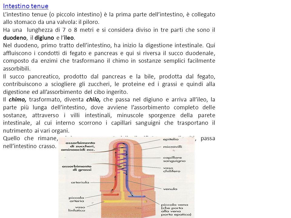 Intestino tenue L'intestino tenue (o piccolo intestino) è la prima parte dell'intestino, è collegato allo stomaco da una valvola: il piloro.