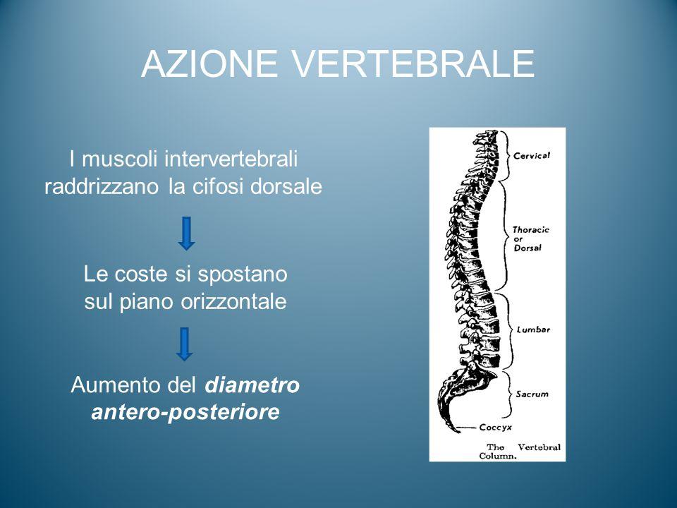 I muscoli intervertebrali raddrizzano la cifosi dorsale